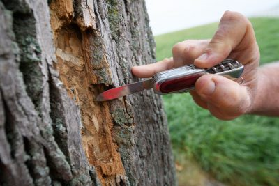 Tom Worthley measuring the depth of damage done by emerald ash borers on a tree