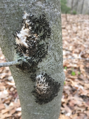 gypsy moth caterpillars on a tree