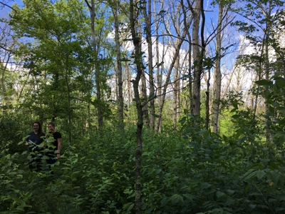 90% oak canopy loss due to drought and gypsy moth defoliation at Beaver Brook State Park, 06/2018.