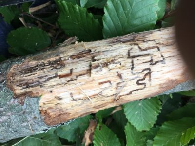 Damage on a red oak limb caused by two-lined chestnut borer, 08/2018
