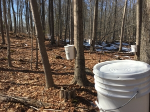 maple syrup buckets on trees in woods